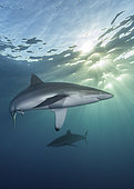 Silky Shark - Carcharhinus falciformis - at sunset. A requiem shark associated with offshore reefs and blue water. Circumtropical. Socorro Island, Mexico, Eastern Pacific.