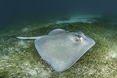 Southern Stingray, Hypanus americanus. A member of the dasyatidae family. Tiger Beach, Little Bahama Bank, Caribbean Sea.