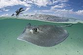Southern Stingray, Hypanus americanus. A member of the dasyatidae family. Over under at Gun Cay, Honeymoon Harbour, Bimini, Bahamas, Caribbean Sea.