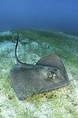 Southern Stingray, Hypanus americanus. A member of the dasyatidae family. Stingray City, Grand Cayman, Caribbean Sea.