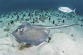 Southern Stingray, Hypanus americanus. A member of the dasyatidae family. Gun Cay, Bimini, Bahamas, Caribbean Sea.