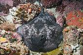 Spotted stingaree (Urolophus gigas) nestled in a sponge encrusted reef. Albany, Western Australia, Southern Ocean.