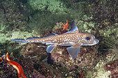 Chimère tachetée (Hydrolagus colliei), Barkley Sound, Colombie-Britannique, Canada.