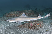 Starspotted Smoothhound Shark, Mustelus manazo. A shark in the family triakidae. Found in the Northwest Pacific from Siberia, China, Korea, Japan and Vietnam.