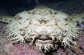 Head of a Tasseled wobbegong (Eucrossorhinus dasypogon) clearly showing its fringe of branching dermal flaps and very light color variation. Exmouth, Western Australia, Indian Ocean.