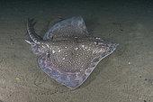 Thornback Skate, Raja clavata. Aka thornback ray. Namsenfjorden or Namsfjorden, Norway, North Atlantic.