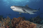 Tiger Shark, Galeocerdo cuvier. At Tiger Beach; a famous shark diving site on Little Bahama Bank in the Bahamas.