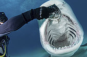 Tiger Shark, Galeocerdo cuvier. Mouth wide open during a shark feed at Tiger Beach; a famous shark diving site on Little Bahama Bank in the Bahamas.