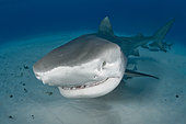 Tiger Shark, Galeocerdo cuvier, Tiger Beach, Freeport, Bahamas, Atlantic Ocean.