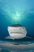 Tiger Sharks, Gelocerdo cuvier, at Fish Tales near Tiger Beach, Grand Bahama Bank, Caribbean Sea, Atlantic Ocean.