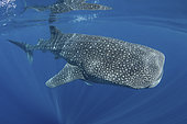 Whale Shark, Rhincodon typus. Largest fish in the world possibly exceeding 20m in length. Isla Mujeres, Mexico. Caribbean Sea.
