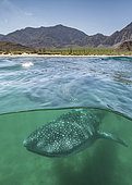 Whale Shark, Rhincodon typus. Largest fish in the world possibly exceeding 20m in length. Over under or split frame at Bahia de los Angeles, Sea of Cortez, Mexico.