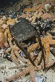 White Skate Egg Case. Rostroraja alba. Aka mermaid's purse. False Bay, South Africa.