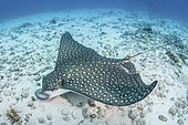 Whitespotted Eagle Ray, Aetobatus narinari. Inhabits coastal regions of the tropical eastern and western Atlantic includng the Caribbean Sea and the Gulf of Mexico. Image from Isla Muejeres, Mexico.