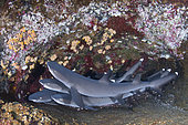Whitetip Reef Shark, Triaenodon obesus. A wide ranging species commonly encountered on shallow reefs throughout the tropical indo-Pacific. Roca Partida, Socorro, Mexico.
