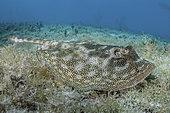 Raie pastenague jaune (Urobatis jamaicensis) sur le fond, Triangle Rocks, South Bimini Island, Bahamas.