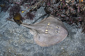 Yellowspotted Fanray, Platyrhina tangi. A species of thornback ray from the northwestern Pacific including Vietnam Taiwan, China, Korea and Japan.
