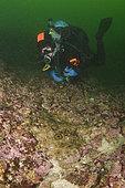 Raie du Pacifique (Beringraja stellulata) et plongeur, espèce de raie qui a jusqu'à présent évité la surpêche en raison de sa préférence pour les substrats rocheux où le chalutage de fond n'est pas possible. Barkley Sound, île de Vancouver, Colombie-Britannique, Canada, océan Pacifique Nord.