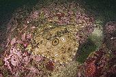 Raie du Pacifique (Raja stellulata), espèce de raie qui a jusqu'à présent évité la surpêche en raison de sa préférence pour les substrats rocheux où le chalutage de fond n'est pas possible. Barkley Sound, île de Vancouver, Colombie-Britannique, Canada, océan Pacifique Nord.