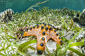 Chocolate Chip Sea Star (Protoreaster nodosus) in Turtlegrass (Thalassia sp), in front of the island of Siladen. Bunaken Marine National Park, North Sulawesi, Indonesia.