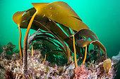 Cuvie (Laminaria hyperborea), off the coast of Saint-Malo, Brittany, France