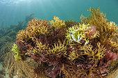 Irish moss (Chondrus crispus), off the coast of Saint-Malo, Brittany, France