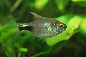 Joli tétra (Hemigrammus pulcher) de profil en aquarium