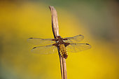Eurasian red dragonfly (Sympetrum depressiusculum) female on her resting place, Alsace, France