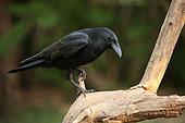 Carrion crow (Corvus corone) on a dead tree, Alsace, France