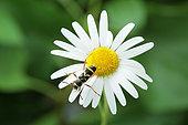 Wasp Beetle (Clytus arietis) on a daisy, Alsace, France