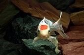 Koi (Cyprinus carpio carpio) in aquariuml