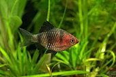 Black ruby barb (Pethia nigrofasciata) colored male in aquarium