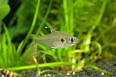 Faux tétra rayons X (Hyphssobrycon simulatus) mâle en aquarium