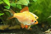 Tiger barb (Puntigrus anchisporus) gold variety in aquarium