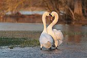 Mute swans (Cygnus olor), love parade at the end of the day, Alsace France