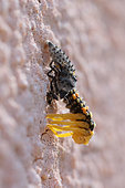 Asian lady Beetle (Harmonia axyridis) larva moulting on a wall, Alsace, France