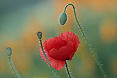 Poppy (Papaver rhoeas) in flower, button and capsule, Alsace, France