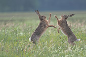 European hare (Lepus europaeus), March madness in spring, Alsace, France