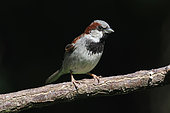 House sparrow (Passer domesticus) male on a branch with black background, Alsace, France