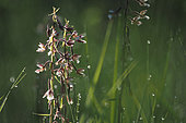 Marsh Helleborine (Epipactis palustris) at dawn in the morning dew against the light, Alsace, France