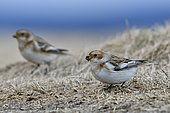 Snow Bunting (Plectrophenax nivalis) eating on ground during migration in the Vosges Mountains, Ballon d'Alsace, Vosges, France