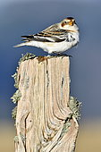 Snow Bunting (Plectrophenax nivalis) resting on a wooden post during migration in the Vosges Mountains, Ballon d'Alsace, Vosges, France