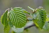 Leaves of Common Beech (Fagus sylvatica) in spring, France