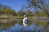 Mute Swan (Cygnus olor) on the water, espace naturel de l'Allan, Brognard, Doubs, France