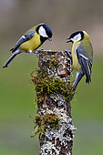 Great tits (Parus major) fighting over a cut trunk, France