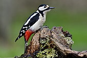 Spotted woodpecker, (Dendrocopos major), male looking for food on a stump, France