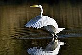 Great Egret (Ardea alba), open wings, Allan natural area, Brognard, Doubs, France