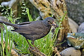 Blackbird (Turdus merula), female carrying material in her beak to make her nest, France