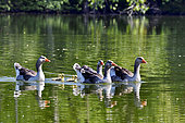 Greylag geese (Anser anser), family and their youngsters on a pond, Nommay, Doubs, France