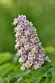 Bush's chestnut (Aesculus sp) flowers, France